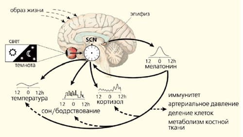 physiological-time